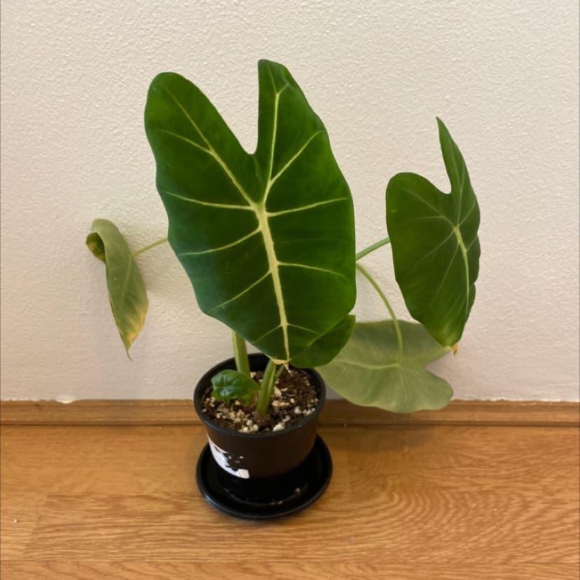 Green Velvet Alocasia plant