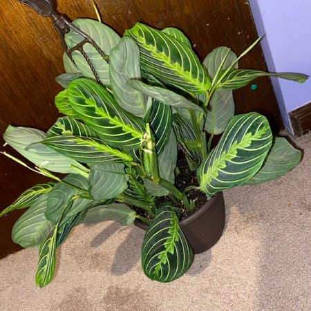 Photo of the plant species Lemon Lime Prayer Plant by Carleygoshaw28 named Sprite on Greg, the plant care app
