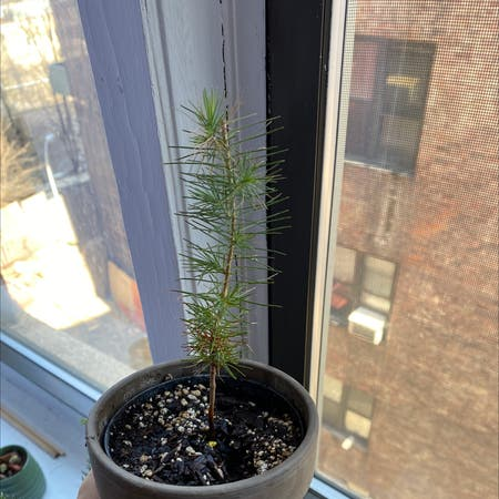 Photo of the plant species Deodar by Misslaramichaels named Coco on Greg, the plant care app