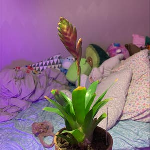 Flaming Sword plant photo by Howellml named Harmony on Greg, the plant care app.
