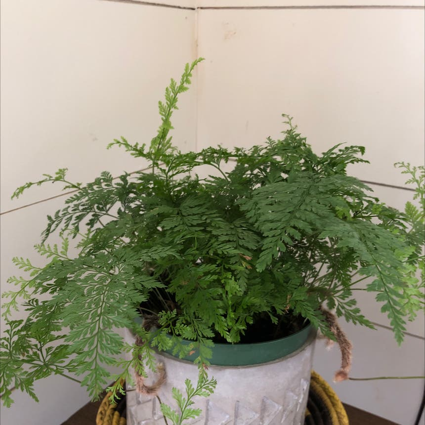 Hen and Chicken Fern plant in Knoxville, Tennessee