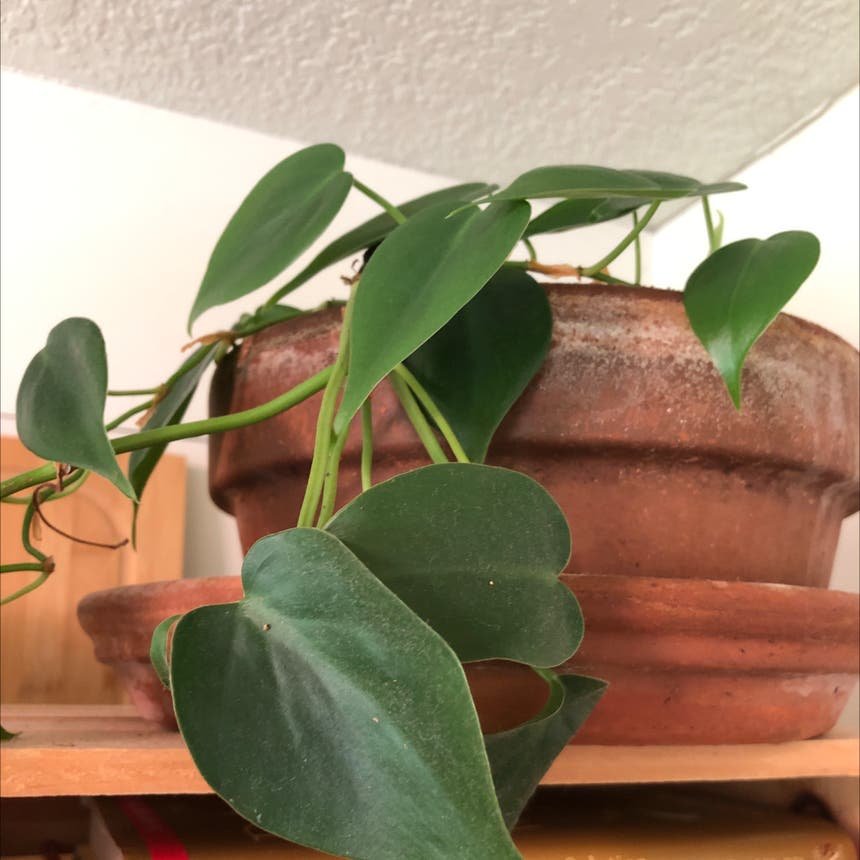 Heartleaf philodendron plant in Knoxville, Tennessee