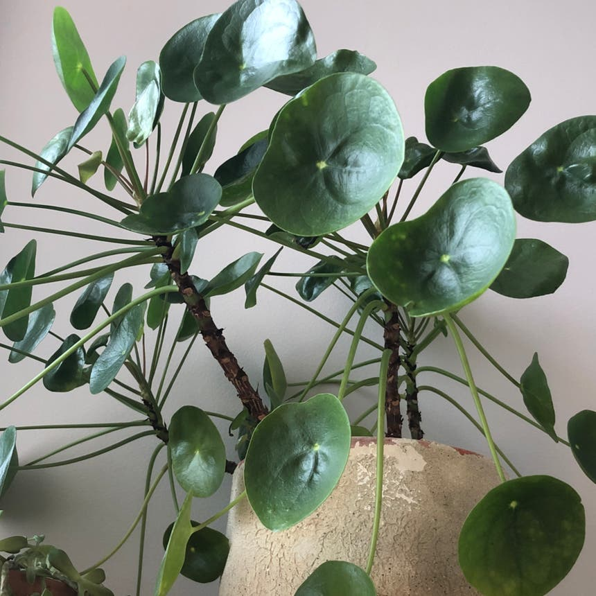 Chinese Money Plant plant in Knoxville, Tennessee