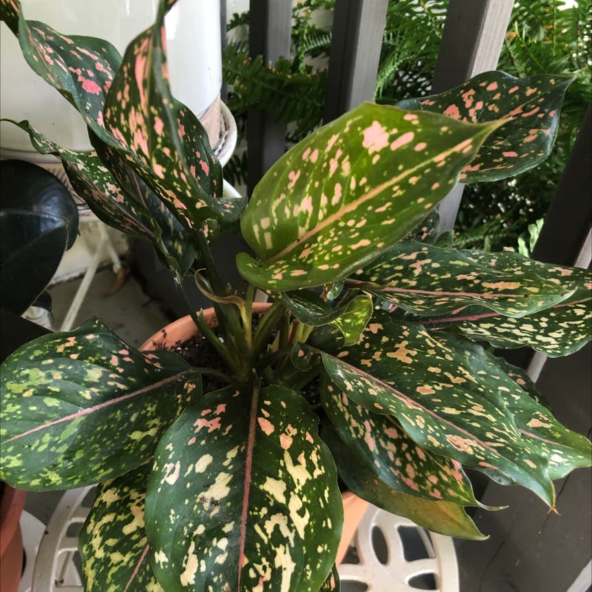 Pink Dalmatian Aglaonema plant in Knoxville, Tennessee