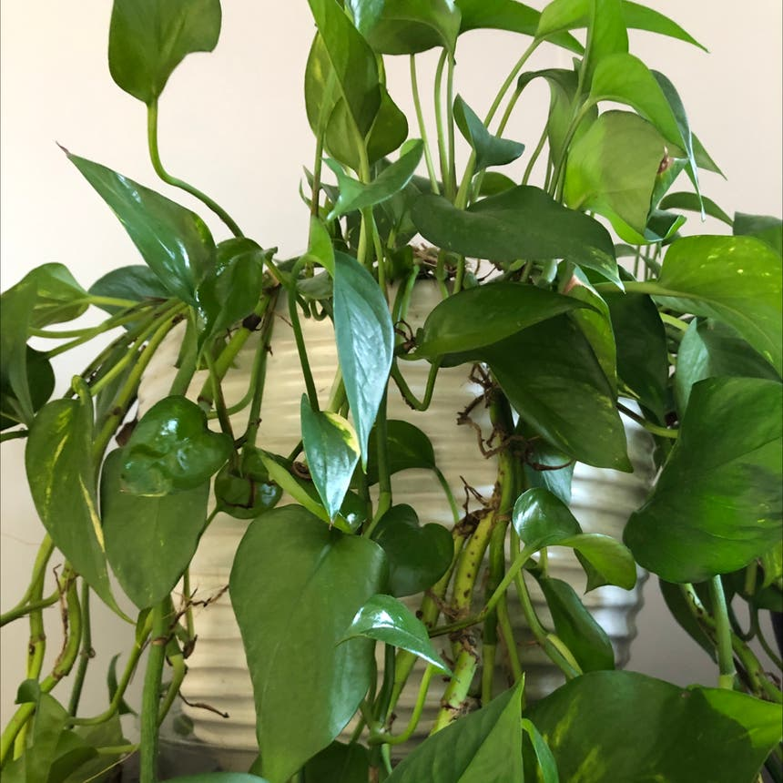 Golden Pothos plant in Knoxville, Tennessee