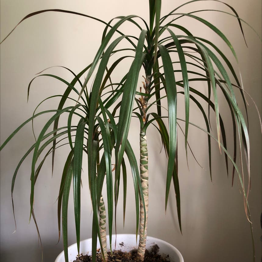 Dragon tree plant in Knoxville, Tennessee