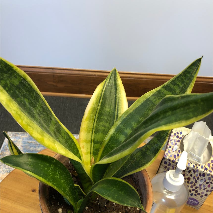 Snake Plant plant in Knoxville, Tennessee
