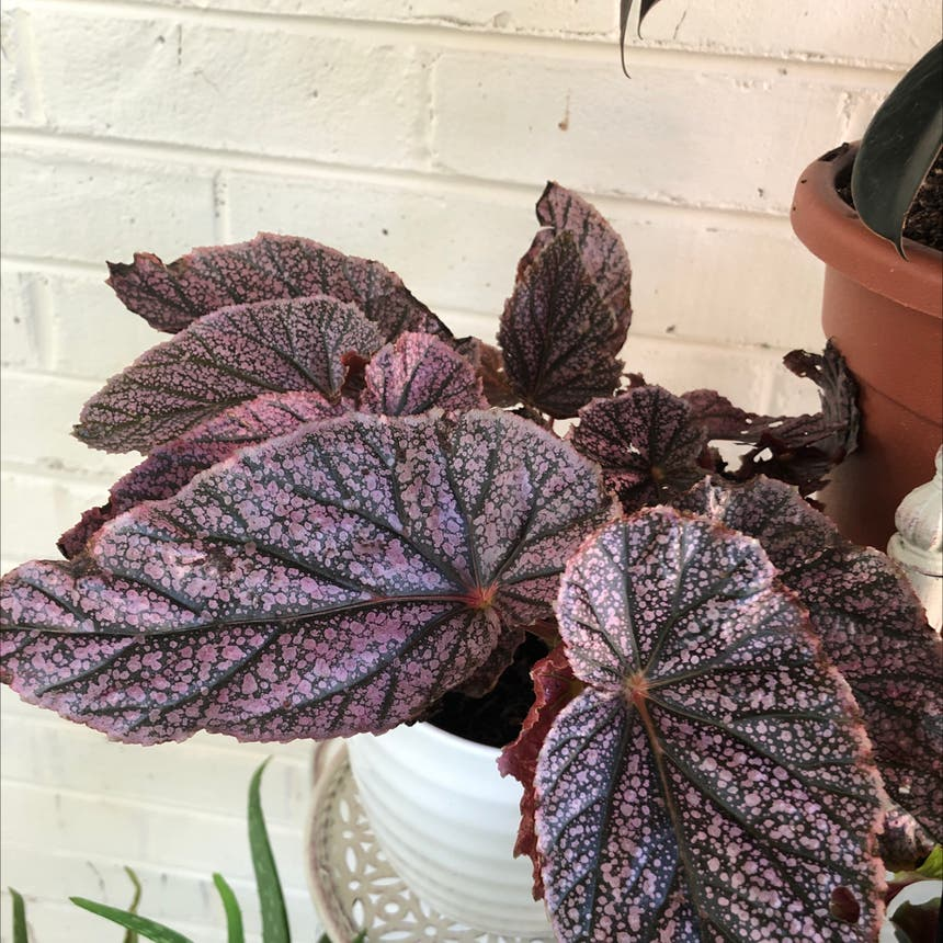 Rex Begonia plant in Knoxville, Tennessee