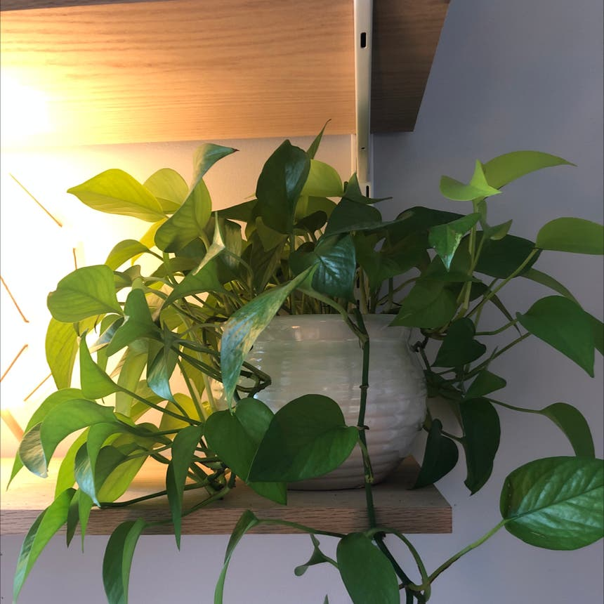 Neon Pothos plant in Knoxville, Tennessee