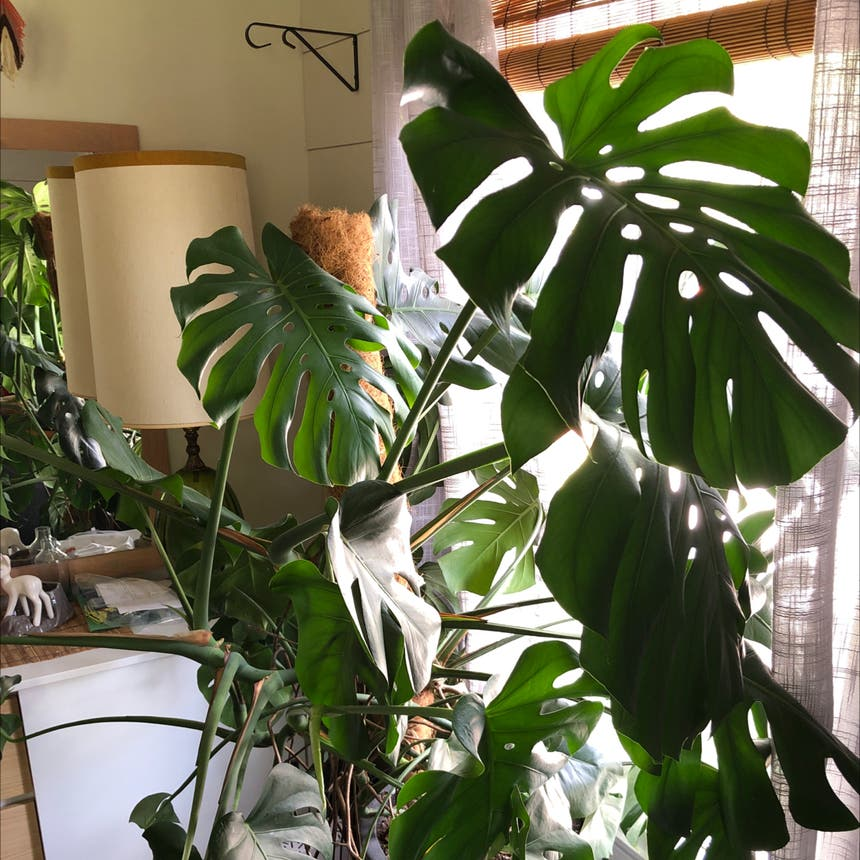 Monstera plant in Knoxville, Tennessee