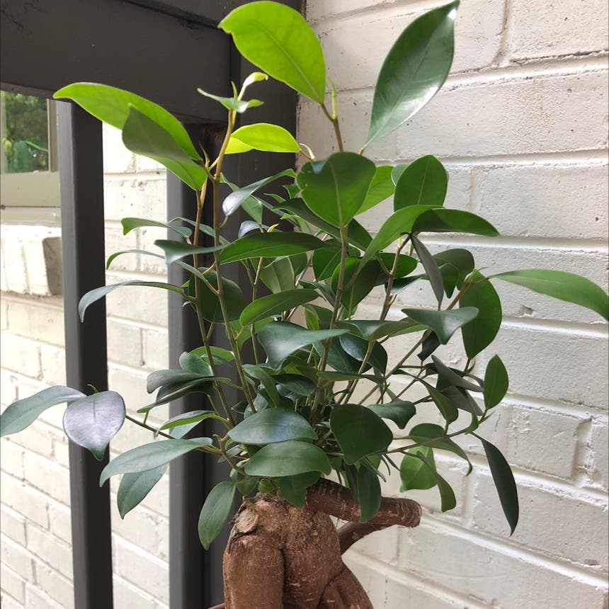 Ficus Ginseng plant in Knoxville, Tennessee