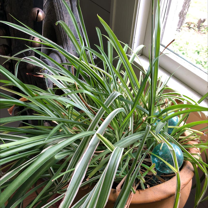 Spider Plant plant in Knoxville, Tennessee