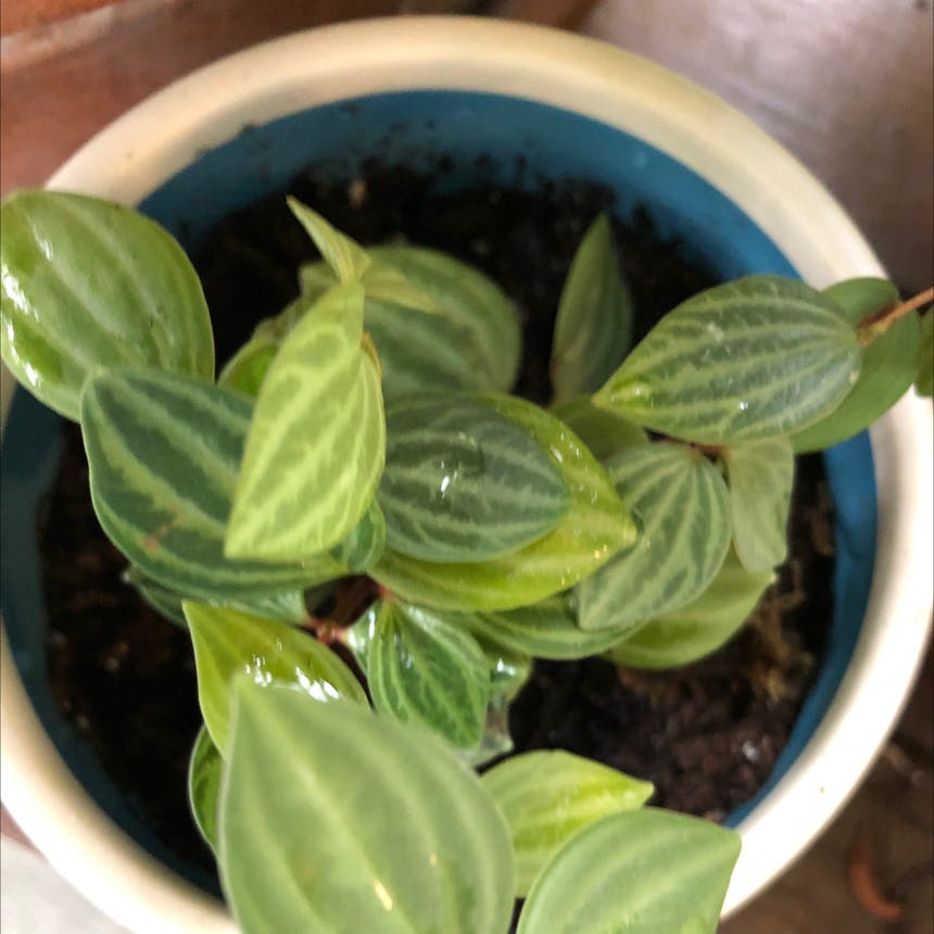 parallel peperomia plant in Knoxville, Tennessee