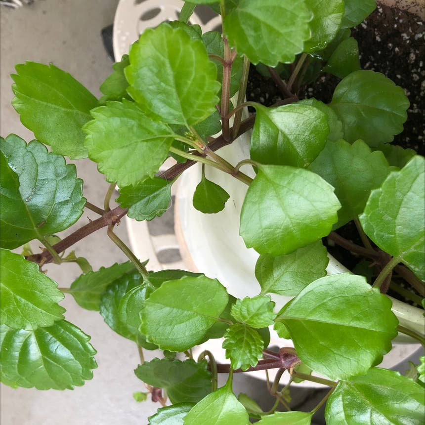 Swedish Ivy plant in Knoxville, Tennessee