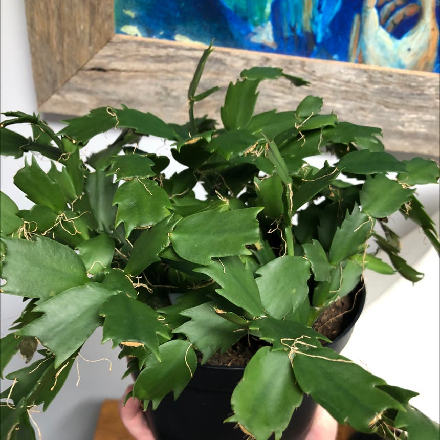 False Christmas Cactus plant in Knoxville, Tennessee