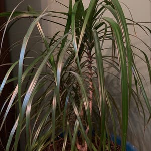Rating of the plant Dragon tree named Frankie by Dsplants on Greg, the plant care app
