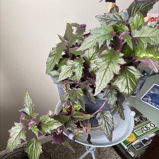 Purple Velvet Plant plant in Plain City, Ohio