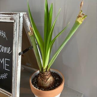 Barbosa Lily plant in Plain City, Ohio