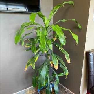 Cornstalk Dracaena plant in Plain City, Ohio