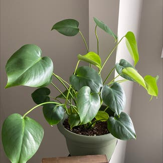 Heartleaf philodendron plant in Plain City, Ohio