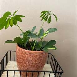 Dwarf Umbrella Tree plant