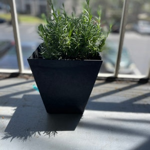 English Lavender plant photo by Cmmnsnse named Fredo on Greg, the plant care app.