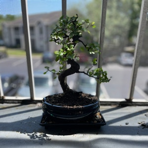 Chinese Elm plant photo by Cmmnsnse named Dave on Greg, the plant care app.