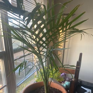 Majesty Palm plant photo by Indy named stone free on Greg, the plant care app.