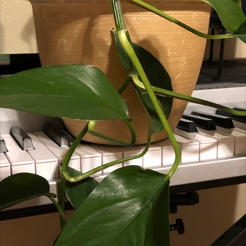 Silver Sword Philodendron plant
