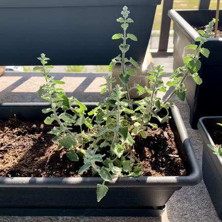 Photo of the plant species Catmint by Anndi07 named Cat on Greg, the plant care app