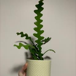 Fishbone Cactus plant