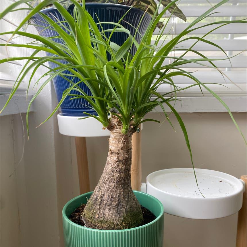 Ponytail Palm plant in Orlando, Florida
