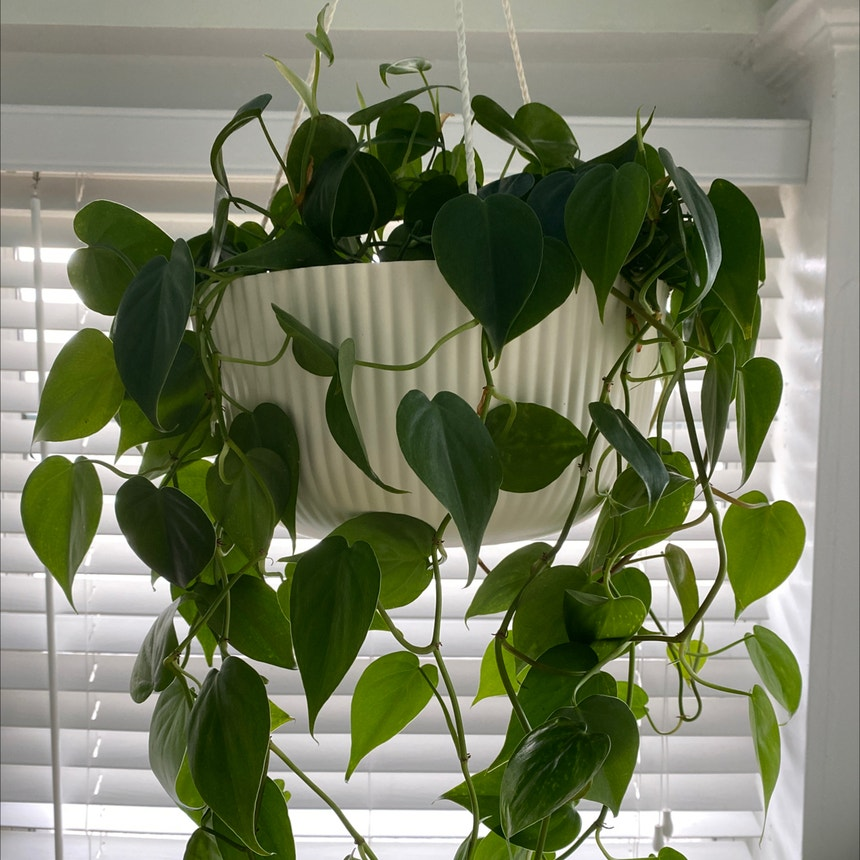 Heartleaf philodendron plant in Orlando, Florida