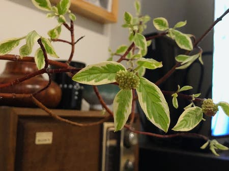 Photo of the plant species Creek Dogwood by Zhengdao named Lola on Greg, the plant care app