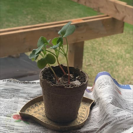 Photo of the plant species Radish by Orge.topia723 named Your plant on Greg, the plant care app