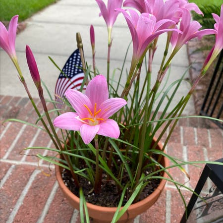 Photo of the plant species Fairy Lily by Amber named Your plant on Greg, the plant care app