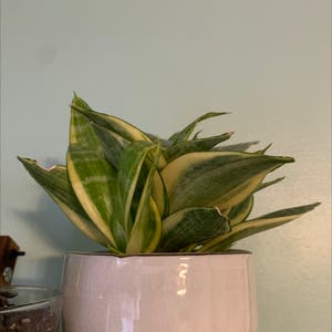 Snake Plant plant photo by Iamchlo3 named Clementine on Greg, the plant care app.