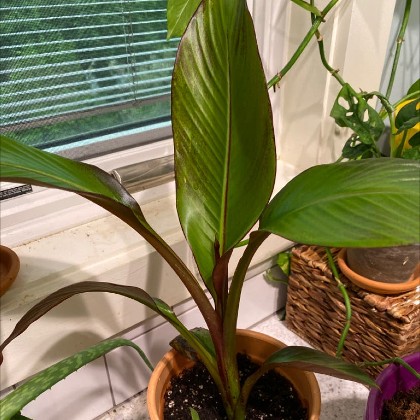 Photo of the plant species Red Banana by Yallli named Gwen on Greg, the plant care app
