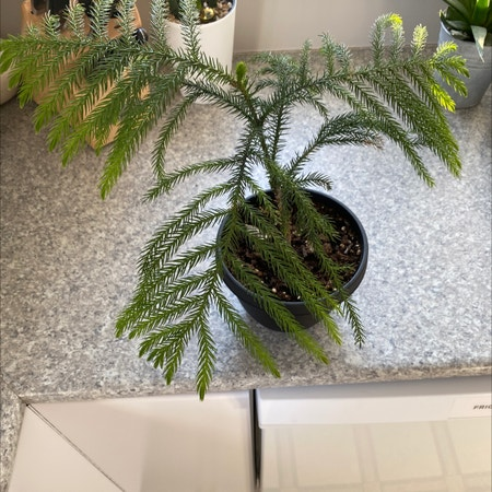 Photo of the plant species Japanese cedar by Kayla named Norfolk pine on Greg, the plant care app