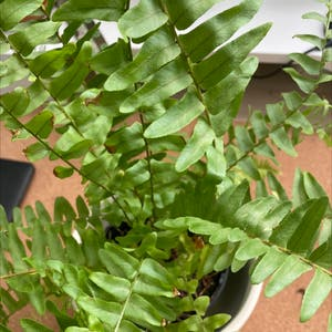 Cotton Candy Fern plant photo by Happylittlegarden named Your plant on Greg, the plant care app.