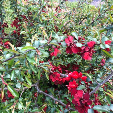 Photo of the plant species Chinese Quince by Joyce named Your plant on Greg, the plant care app