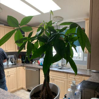 Money Tree plant in Fort McMurray, Alberta