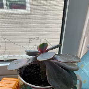 Echeveria gibbiflora plant photo by Lil45.2006 named Osmo on Greg, the plant care app.