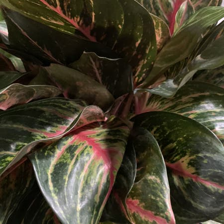 Photo of the plant species Chinese Evergreen 'Garnet Coltrane' by Joaniec named Aglaonema Garnet on Greg, the plant care app