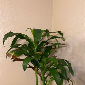 Rating of the plant Cornstalk Dracaena named Morgan Treeman by Boazhoffman on Greg, the plant care app