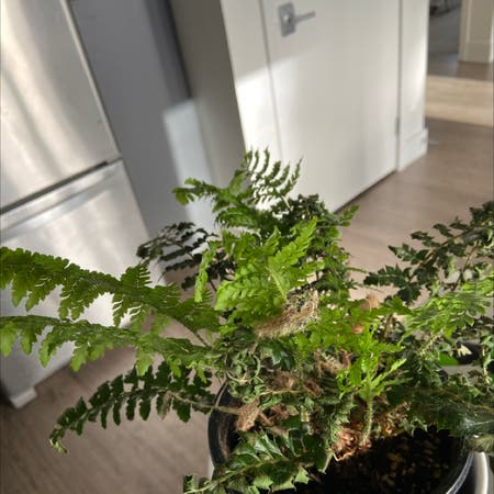 Photo of the plant species Tassel Fern by Yifanxiao named Taylor on Greg, the plant care app