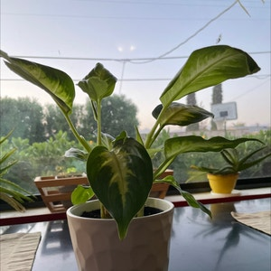 Rating of the plant Dieffenbachia named Celia by Lauren_trees on Greg, the plant care app