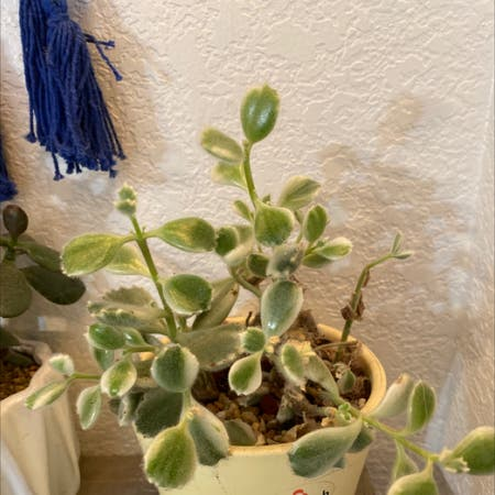 Photo of the plant species Variegated Bear's Paw by Flareofamethyst named Cotyledon tomentosa ssp. tomentosa f. variegata on Greg, the plant care app