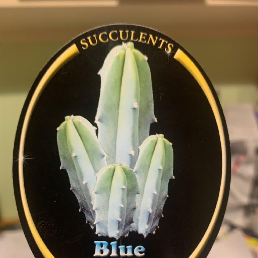 Blue Myrtle Cactus plant