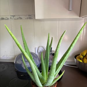 Rating of the plant Aloe vera named Aloisa by Plantbased93 on Greg, the plant care app